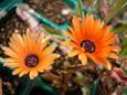 Mesembryanthemum criniflorum Apricot Tutu